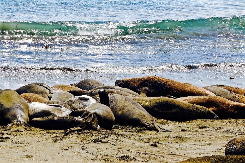 Elephant Seals relaxing in splendid isolation